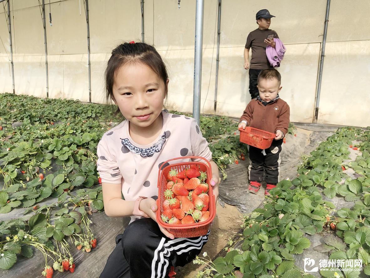 春节夏津范楼村草莓采摘园迎来大量游客